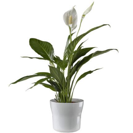 Planta-con-flor-blanca