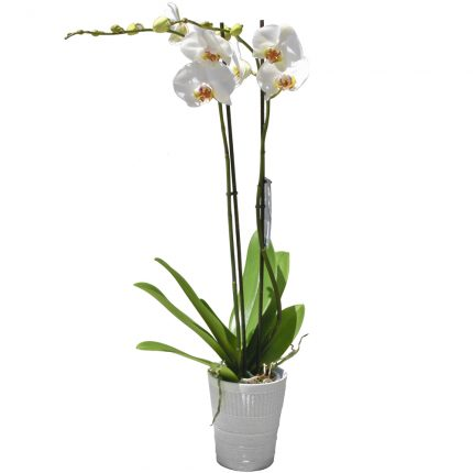 planta-blanca