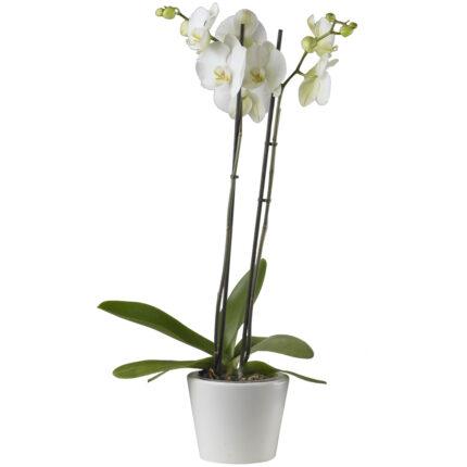 Orquídea blanca con macetero de cerámica