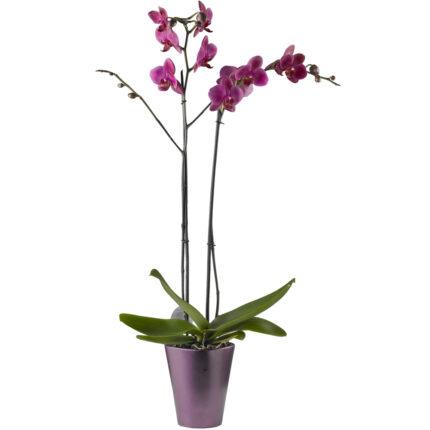 Orquídea más macetero de cerámica