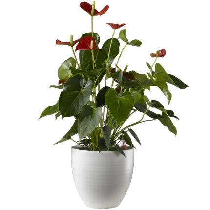 planta-con-flor-roja